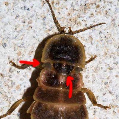 Lampyris sp. (femmina) - Lampyridae