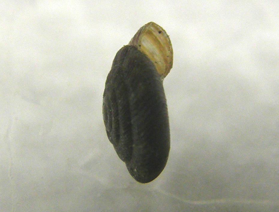 Chiocciola microscopica