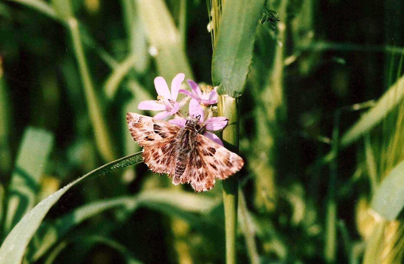 Hesperiidae da identificare