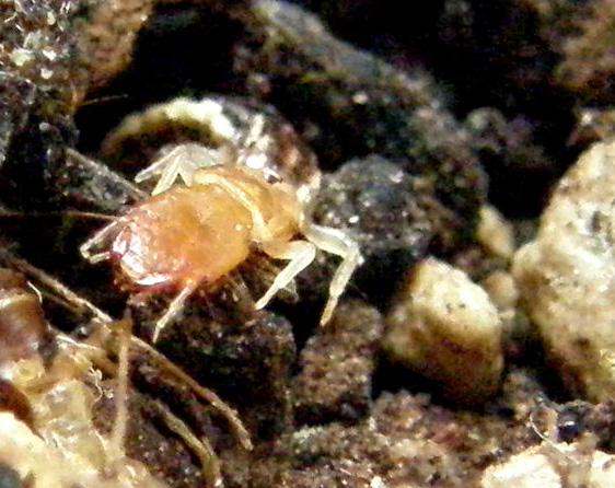 Larva di stafilino... oops, di rafidiottero