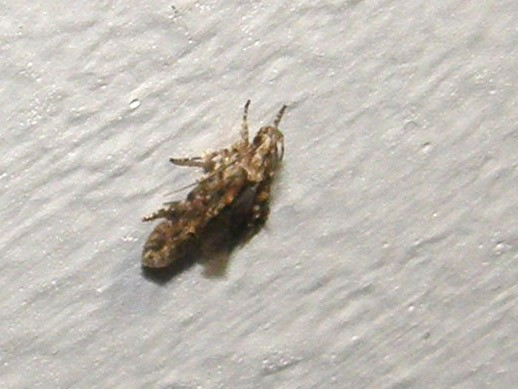 Microlepidottero: Neotelphusa o Carpatolechia (Gelechiidae)