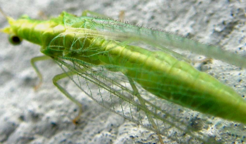 Chrysoperla milanese