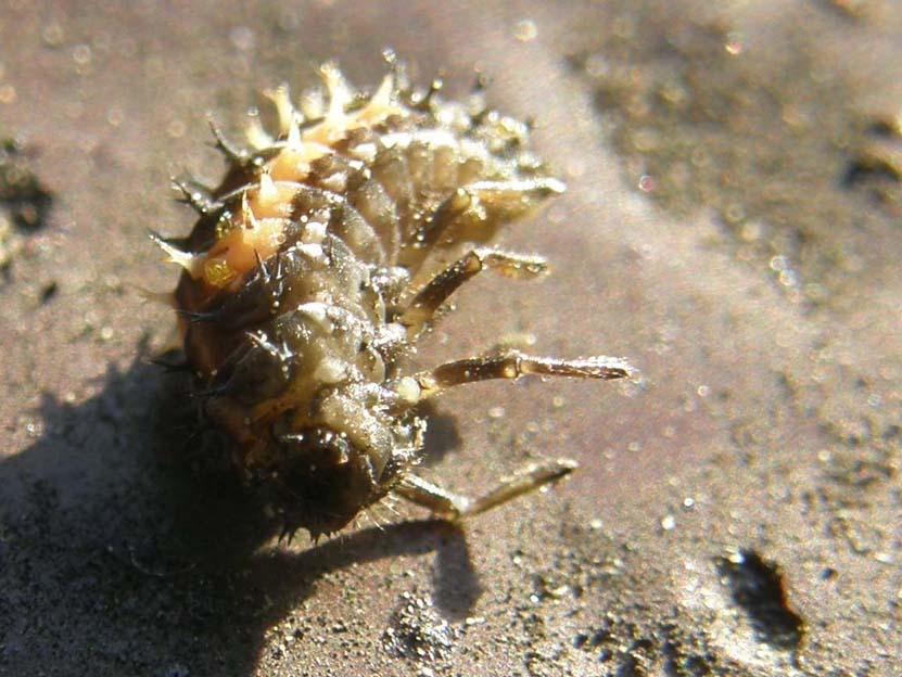 Larva di ....? Harmonia axyridis