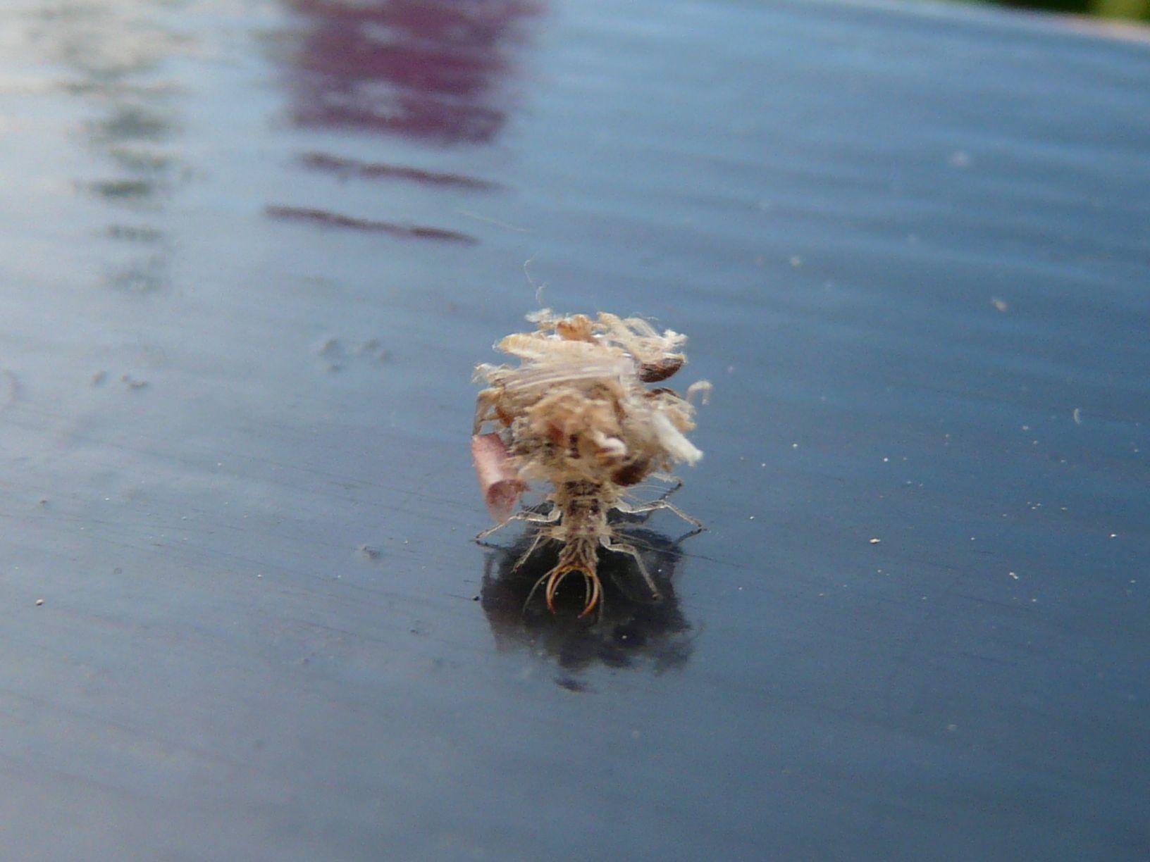 Curiosa larva di Dichochrysa sp.
