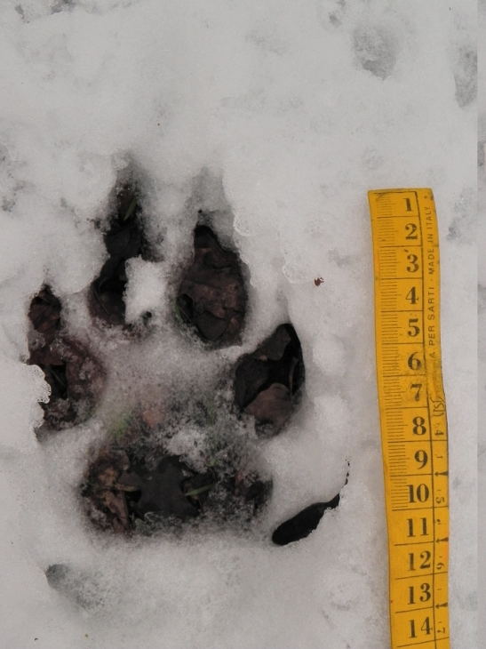 Impronta di cane?