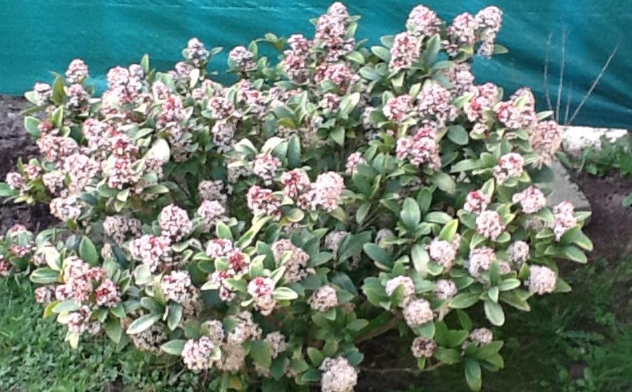 Skimmia japonica natura nel mondo forum naturalistico for Skimmia pianta