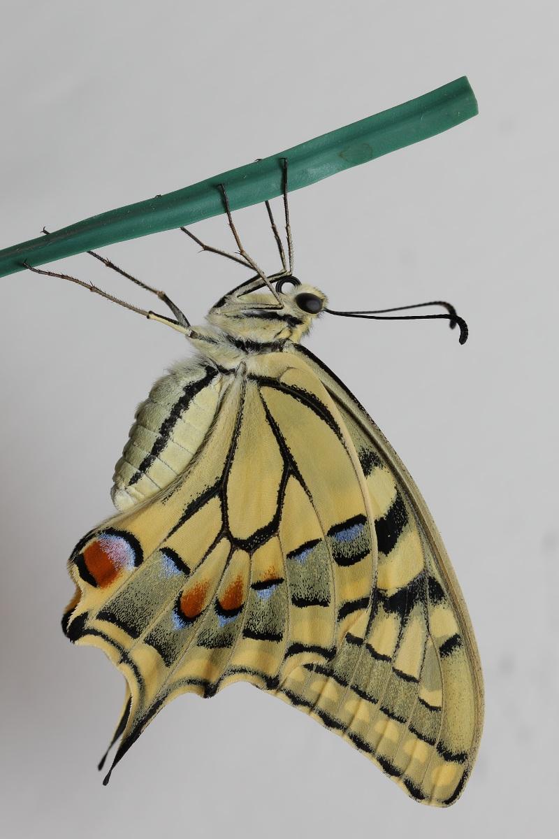 Papilio machaon - ciclo vitale