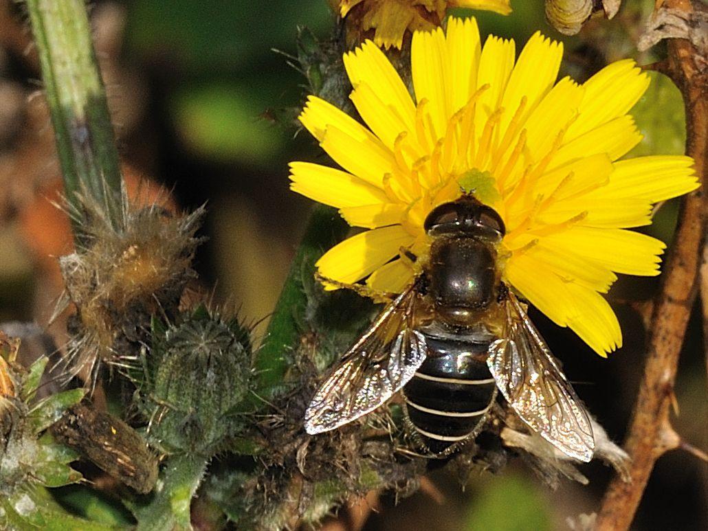 ID Syrphidae