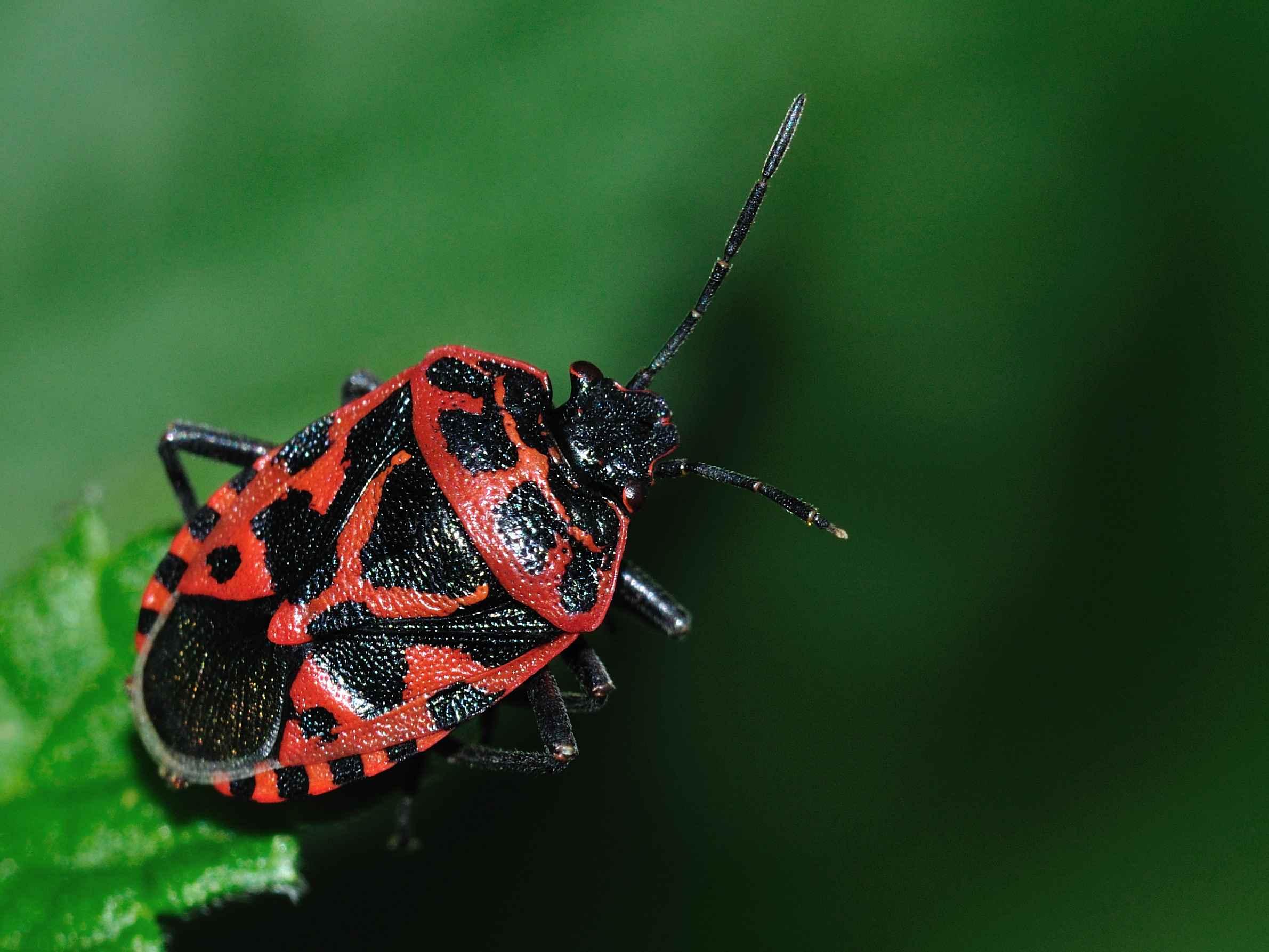 Pentatomidae eurydema ventralis dell 39 abruzzo aq forum for Cimice insetto