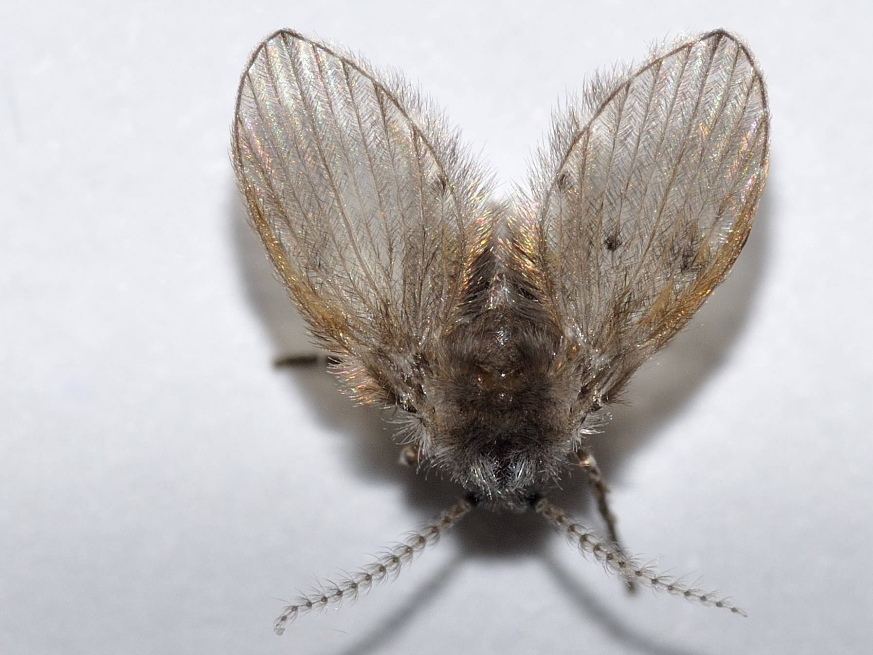 Insetti simili mosche in bagno cosa sono psychodidae forum natura mediterraneo forum - Farfalline nere in bagno ...