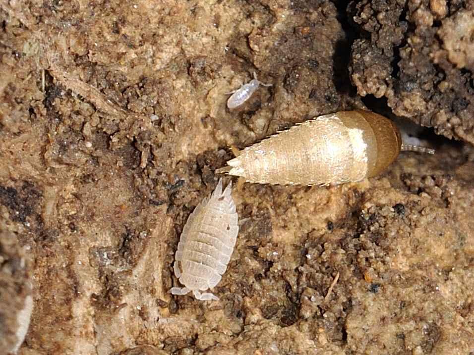Mix zigentomi & collemboli: Atelura formicaria e Cyphoderus sp.