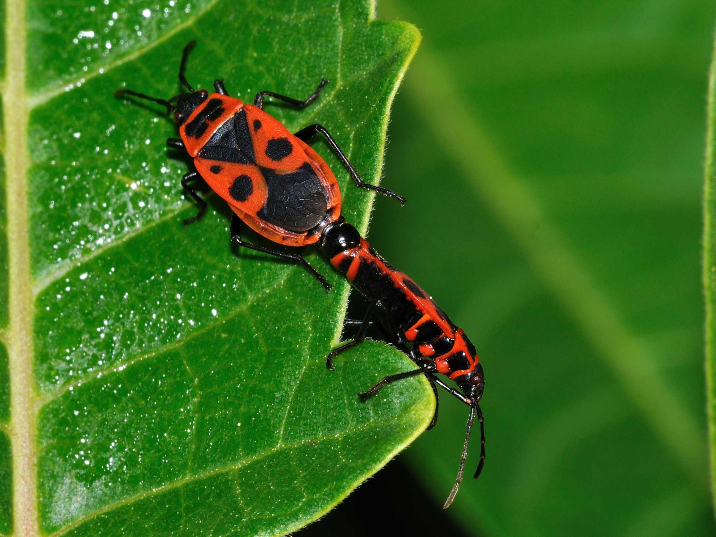 Pyrrhocoridae: Pyrrhocoris apterus f.pennata d''Abruzzo (AQ)