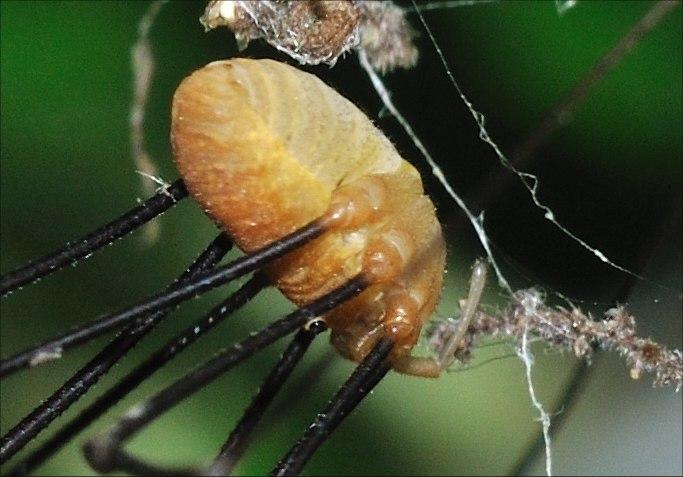 Opilione abruzzese: Opilio canestrinii (Thorell 1876)