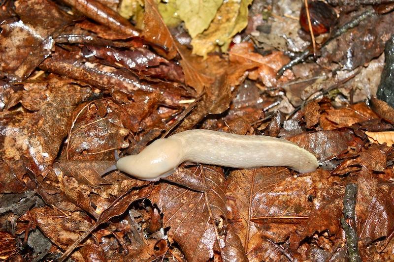 Limax aldrovandi Moquin-Tandon 1855 da Cerignale (PC)