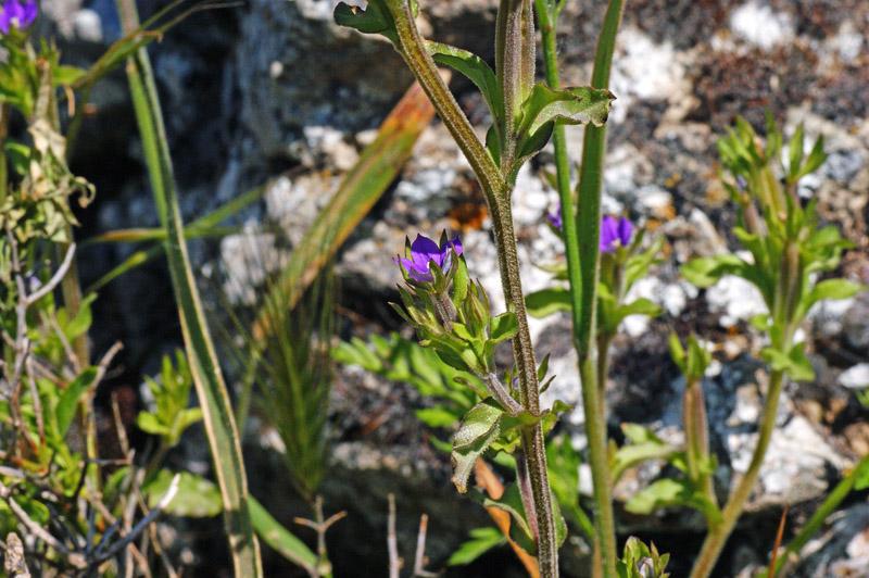 Legousia hybrida specchio di venere ondulato forum for Specchio ondulato