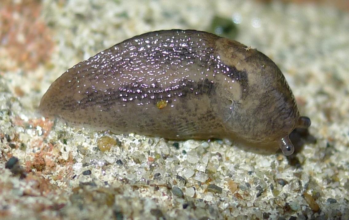 Il minimo del massimo: Limacidae da Cremona