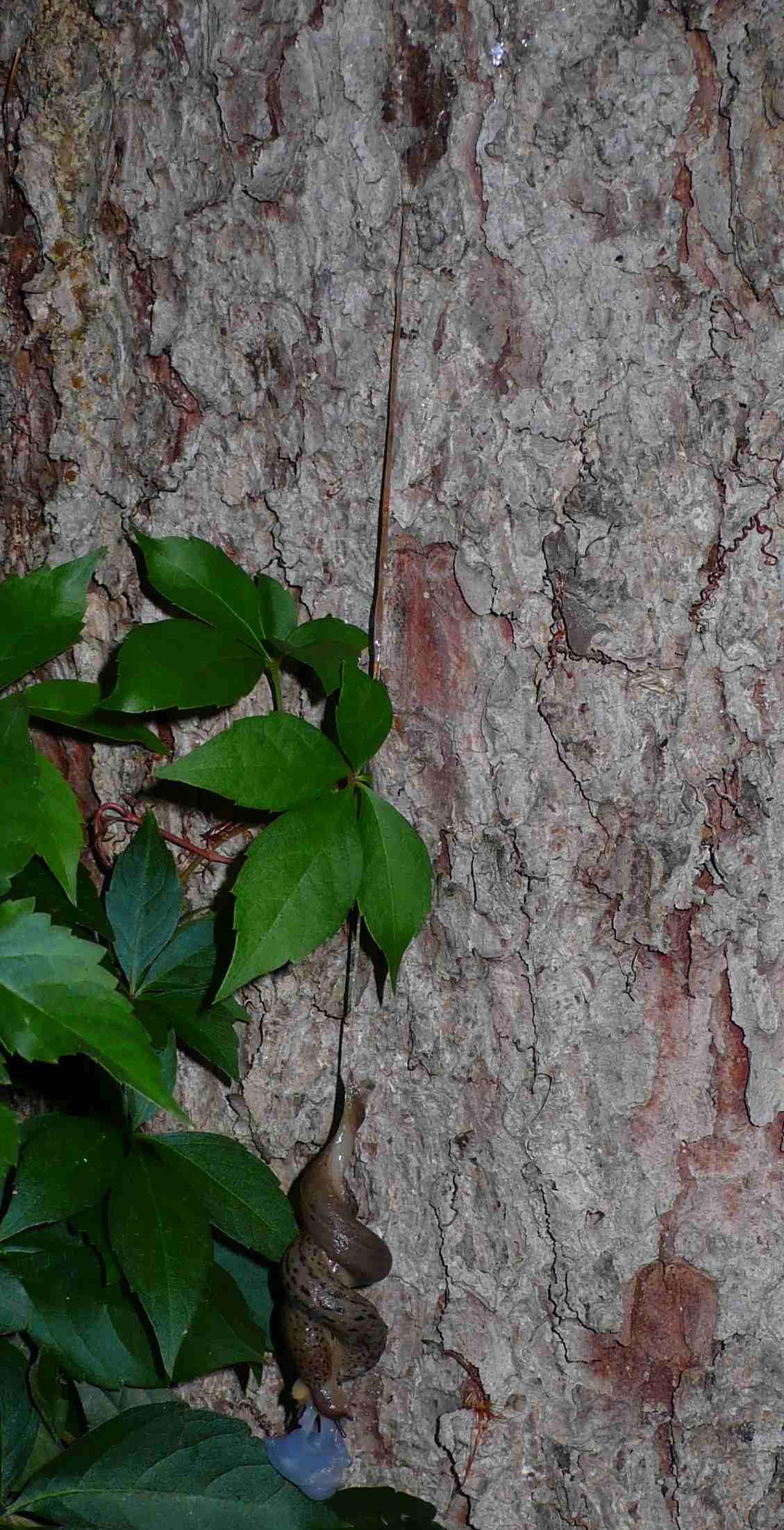 10 minuti di passione: L. maximus in accoppiamento