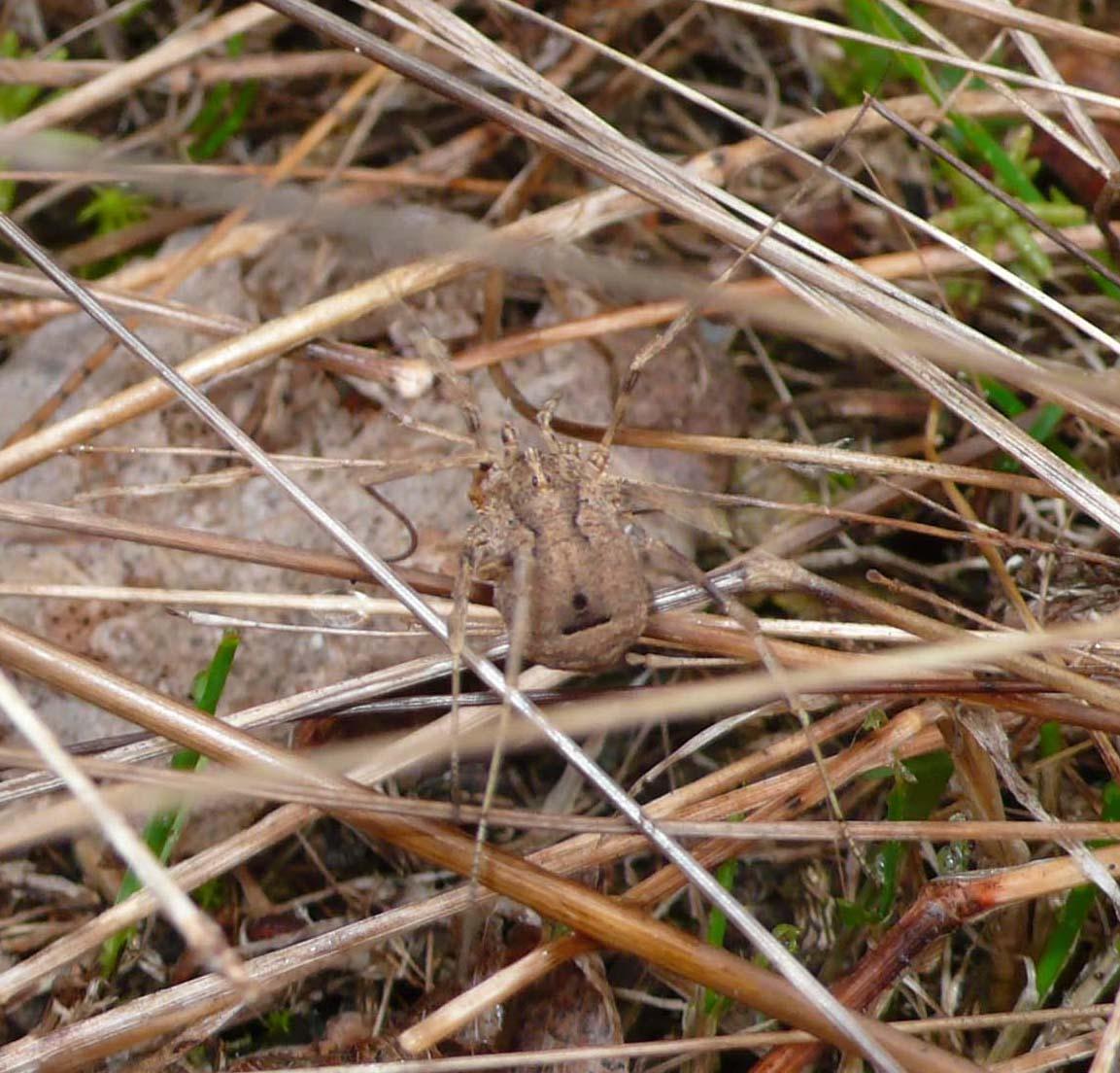 Opilione di bosco golenale (CR): Odiellus spinosus