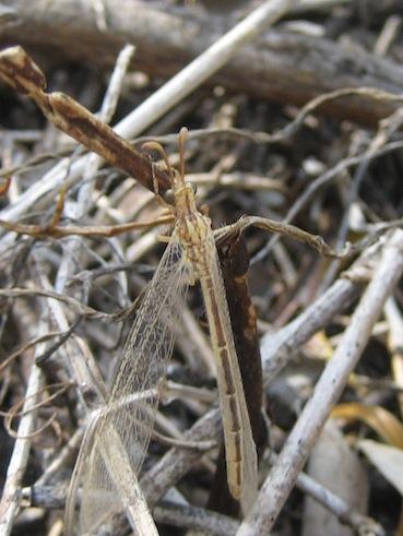 Macronemurus appendiculatus femmina.
