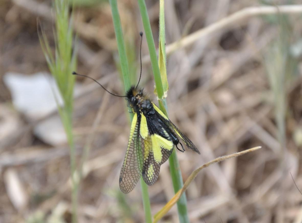 Femmina e maschio di Libelloides coccajus
