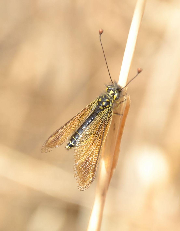 Libelloides siculus?