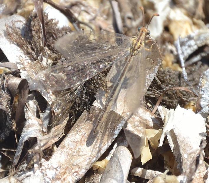 Macronemurus appendiculatus?