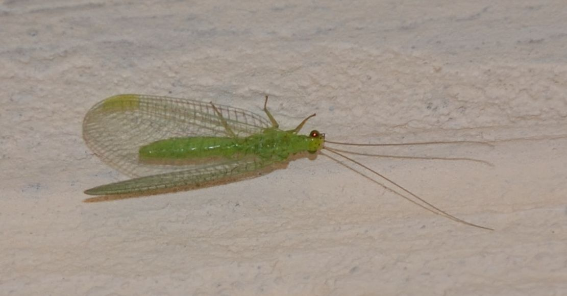 grosso Chrysopidae