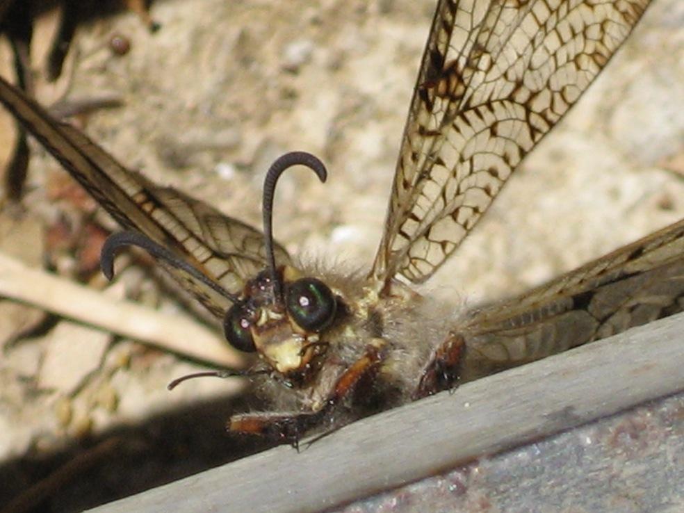 Palpares libelluloides