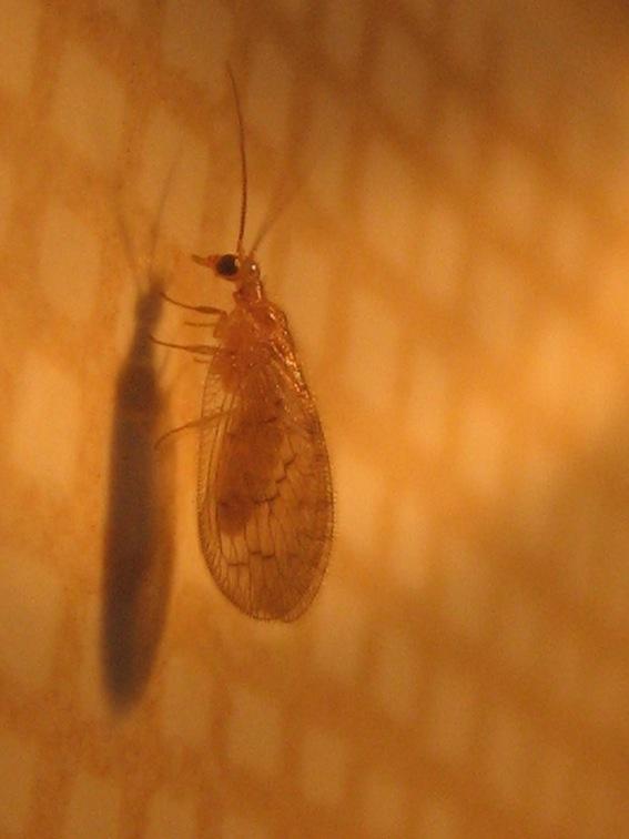 Sympherobius fallax