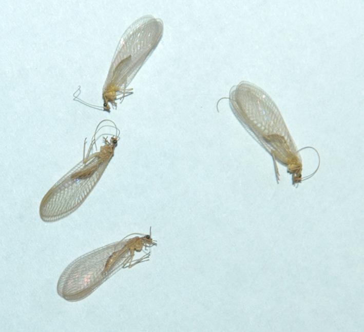 Chrysopidae morti in casa