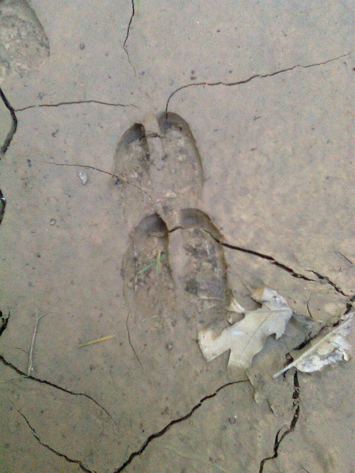 Le impronte degli ungulati.