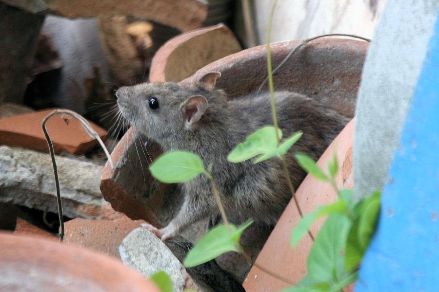 Quale ratto?R. norvegicus