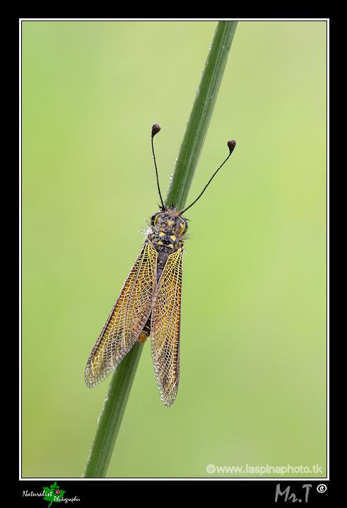 Libelloides longicornis? - No, Libelloides siculus