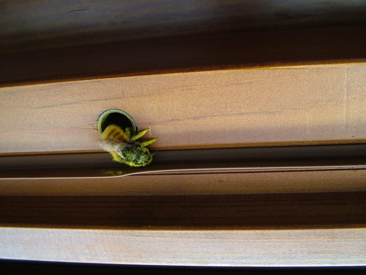Un ape solitaria ha fatto il nido nella mia porta di casa for Posso costruire una casa sulla mia terra