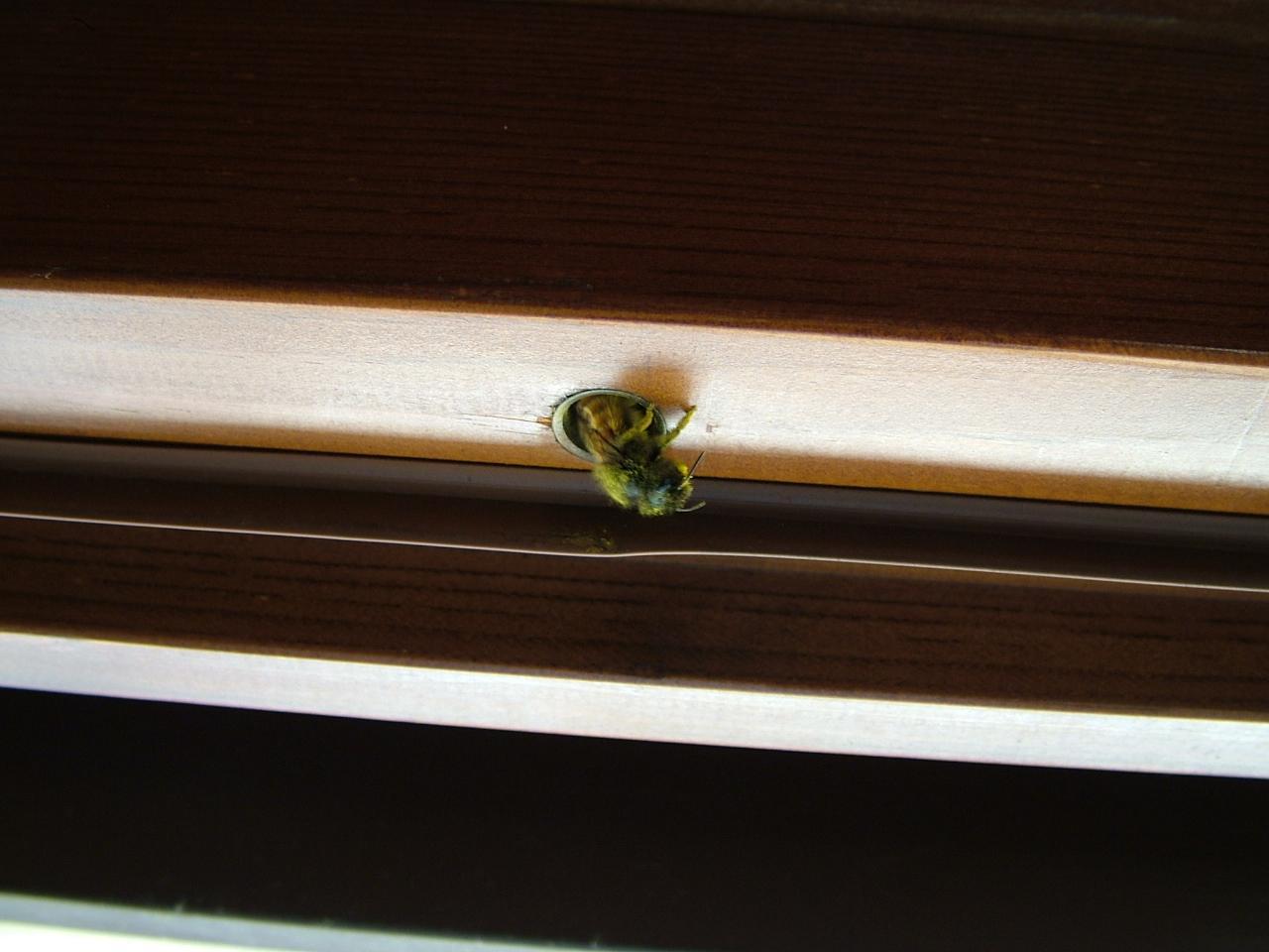 Un ape solitaria ha fatto il nido nella mia porta di casa - Chiudere la porta grazie ...