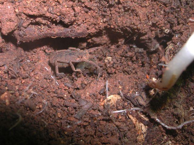 Trogludidae siciliano: Calathocratus africanus