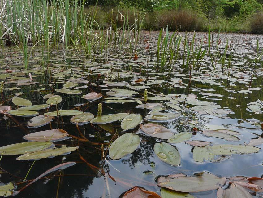 Pesci in uno stagno vicino massa identificazione for Pesci di stagno