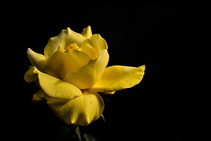 fiore con sfondo nero
