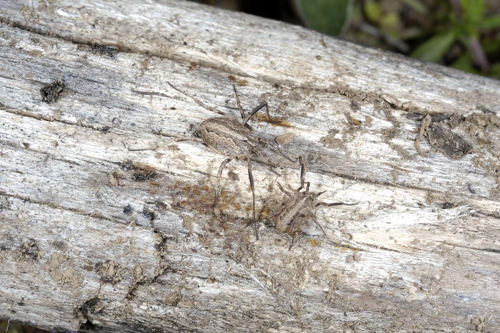 Opilione romano: Odiellus cf. troguloides