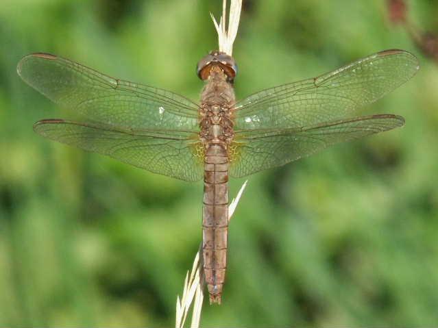 Cinque femmine di C. erythraea di colori diversi