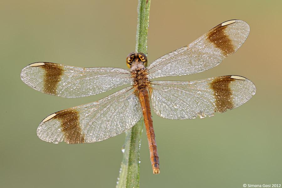 ID libellula