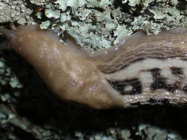 Limax aldrovandi Moquin-Tandon 1855 da Avellana (PU)