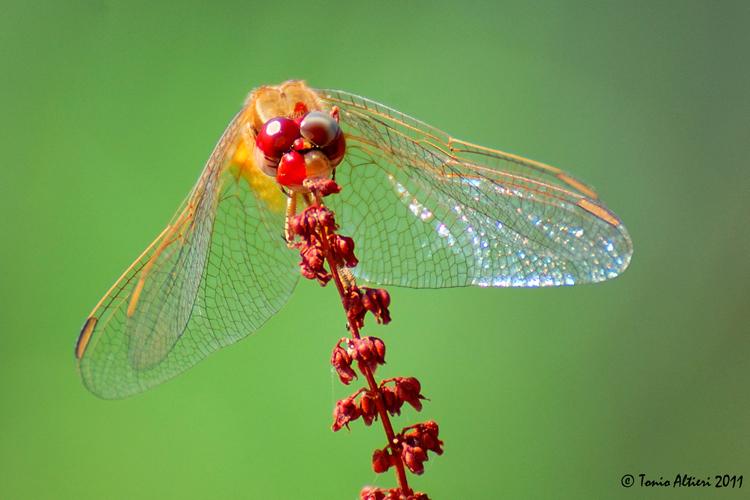 Carrellata di libellule (da identificare)