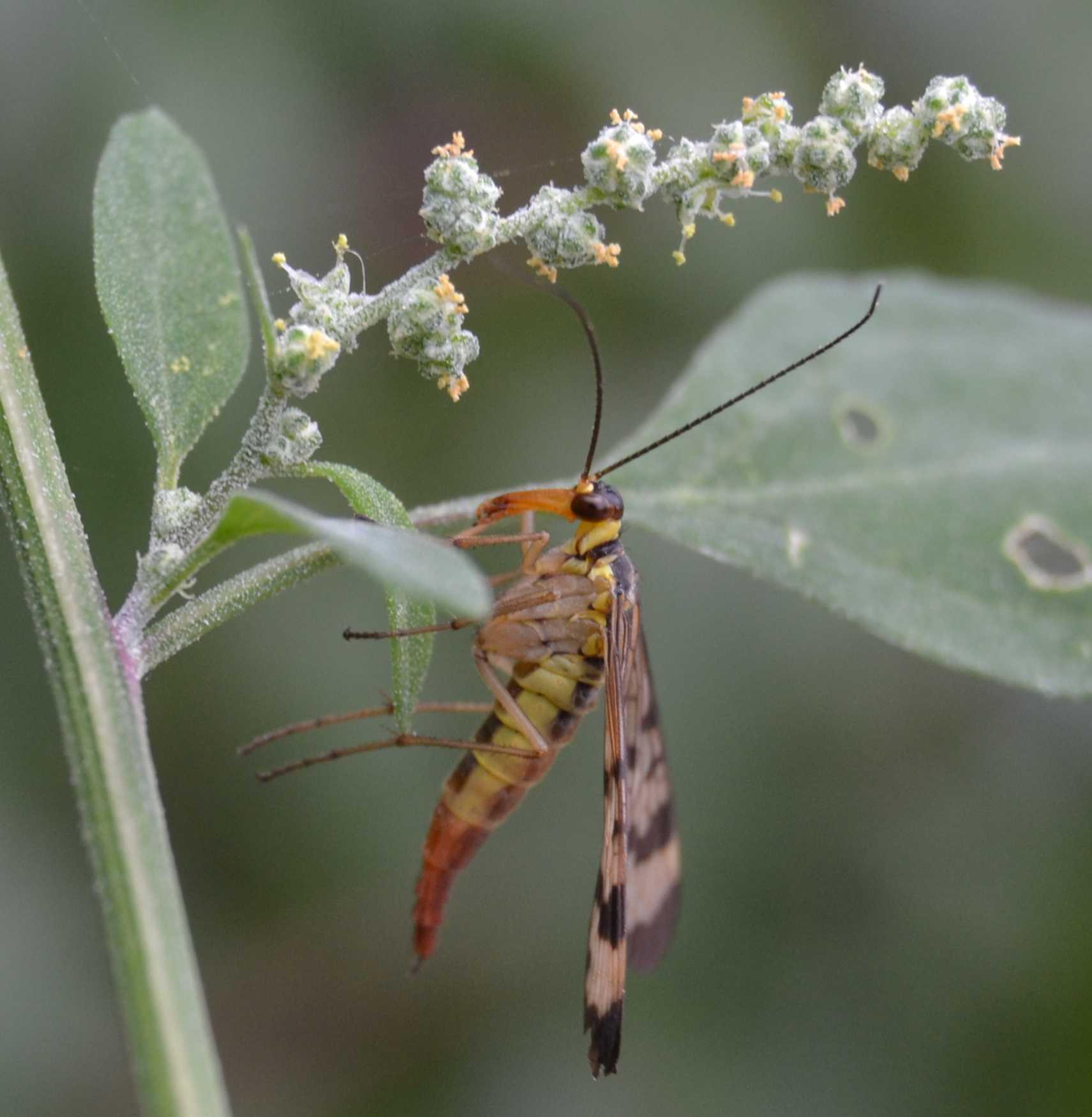 Panorpa communis maschio e femmina