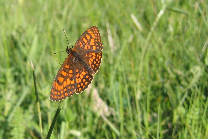 Melitaea athalia ? - Nymphalidae.....dal Trentino