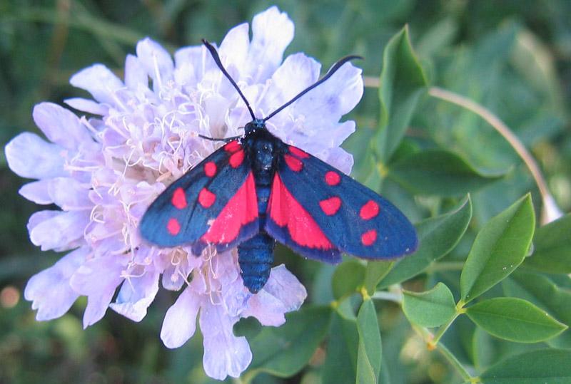 Zygaena  transalpina - Zygaenidae...........dal Trentino