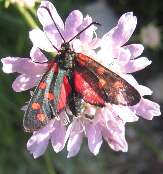 Zygaena  transalpina - Zygaenidae........dal Trentino