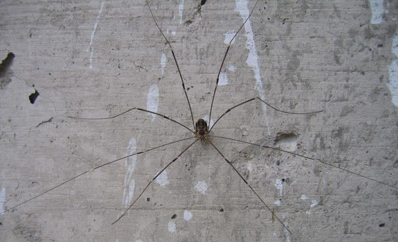 Opilione del Trentino: Leiobunum limbatum