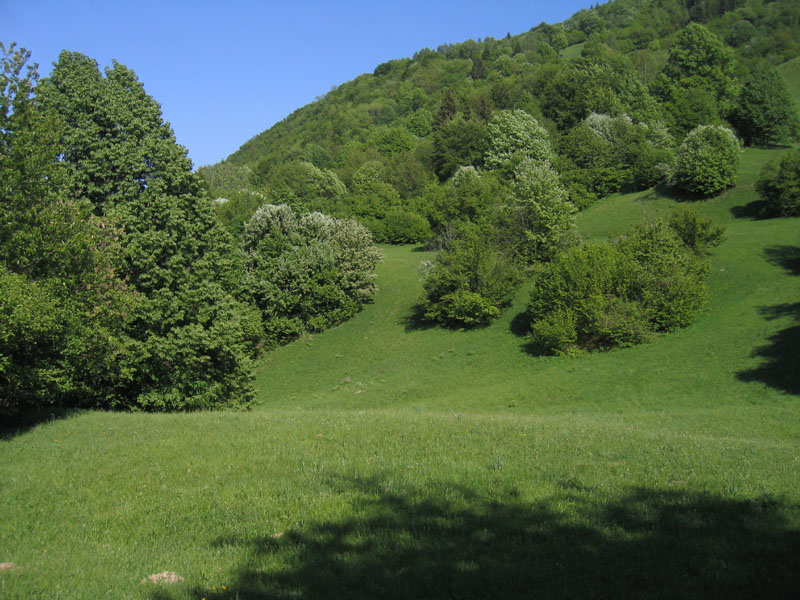 Pharmacis lupulina - Hepialidae.......dal Trentino
