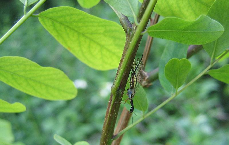 Raphidiidae da determinare... - Dichrostigma cfr. flavipes